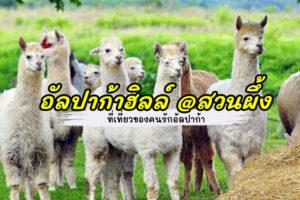 อัลปาก้าฮิลล์ - AlpacaHill ที่เที่ยวของคนรักอัลปาก้า